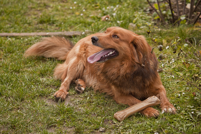 Ginger dog 4