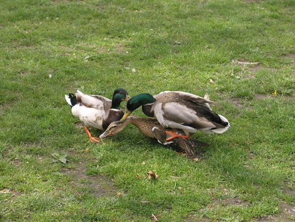 Duck Fuck 9