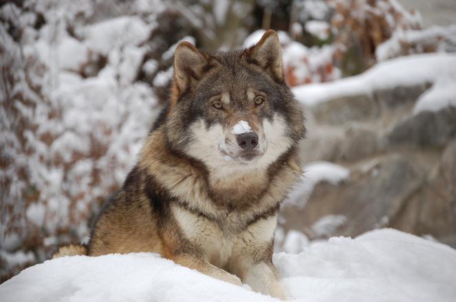 Wolf 1