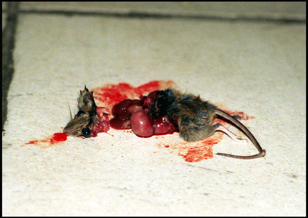 Free Died Mouse Stock Photo Freeimages Com