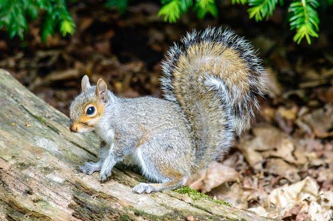 Gray Squirrel on a Log