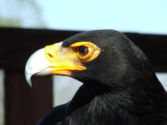 орел фото птица черно белая