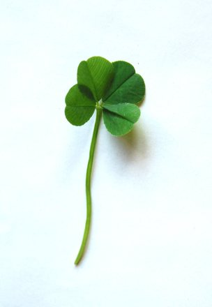 Four leaved clover 2