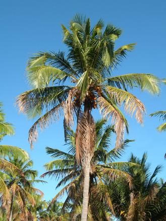 Free Big Palm Tree Stock Photo Freeimages Com