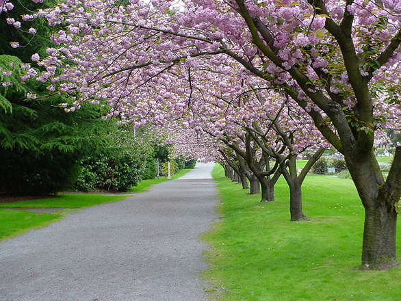 Cherry Tree Path
