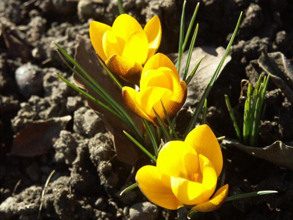 Вторые весенние цветы