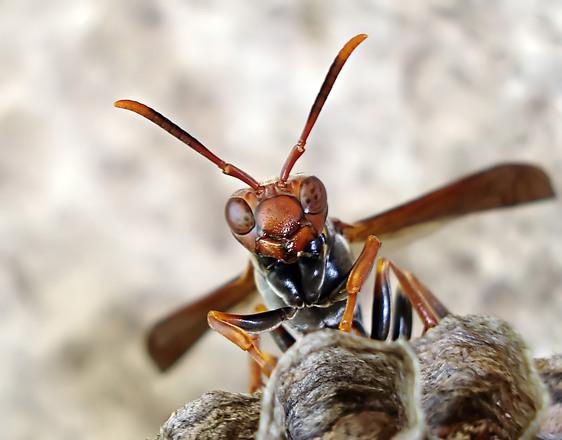 Wasp, hive, wasp eggs 1