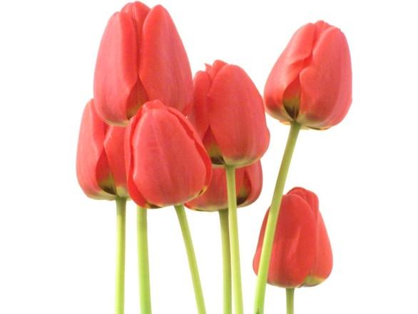 Private tulip