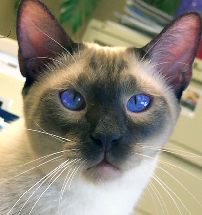 Free Siamese Cat Stock Photo Freeimages Com