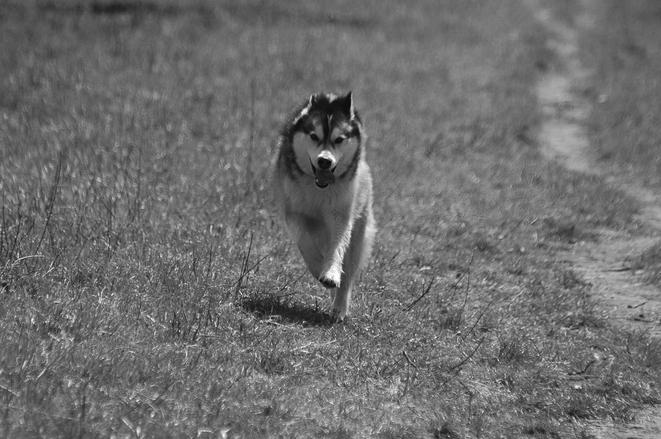 maloup the husky 7