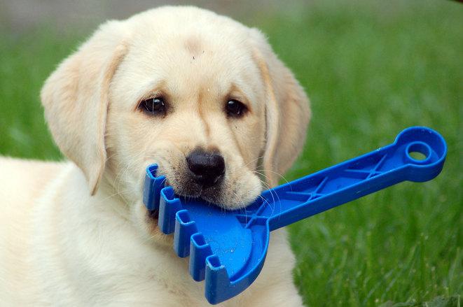 Koira ja lelu