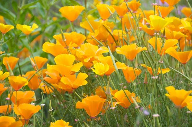 Orange Poppies 2