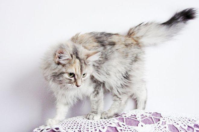 Adult Cat Peyton