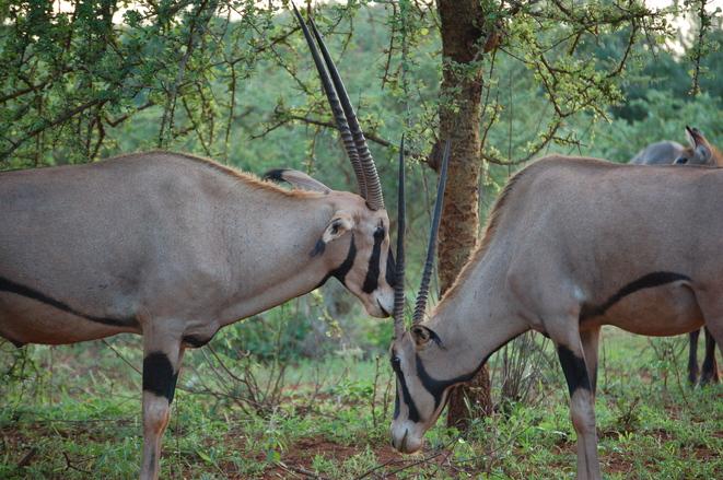Battling Antelope