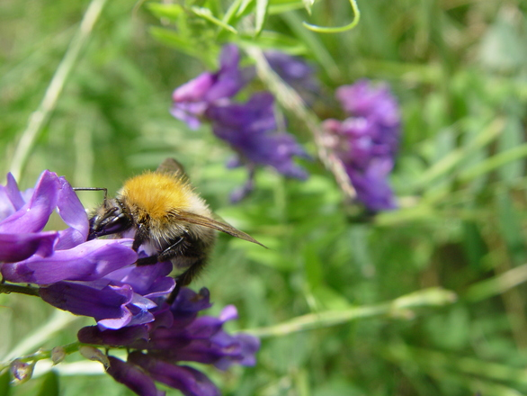 bumblebee on some flower
