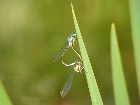 azure damsel flies fly - photo #12