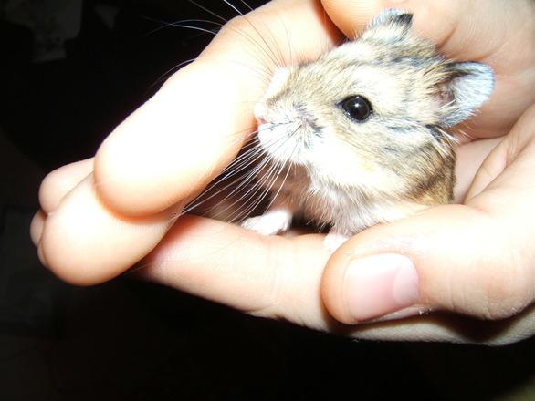 Hamsterin kuljettaminen