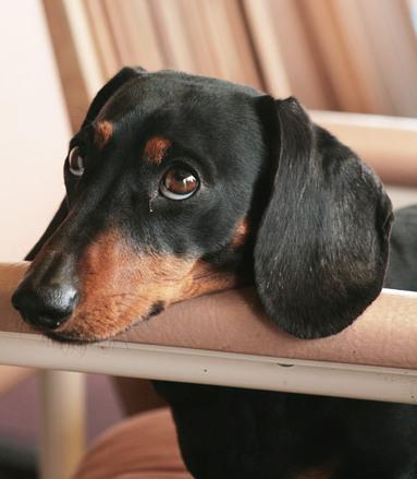 Miniature dachshund 01