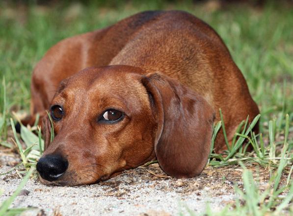 Miniature dachshund 2