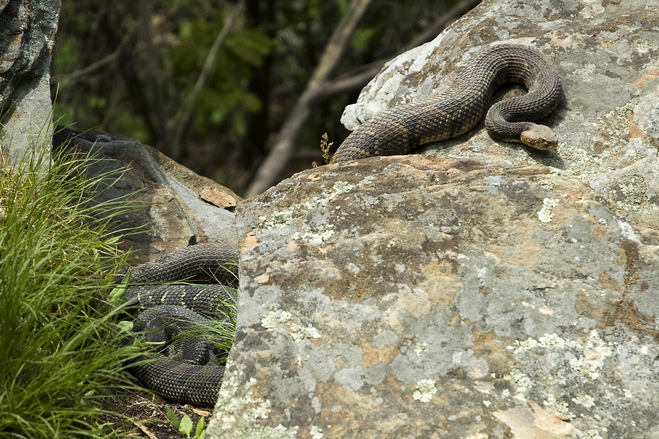 Free Rattlesnakes Stock Photo Freeimages Com