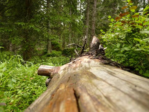 Forest tree stump