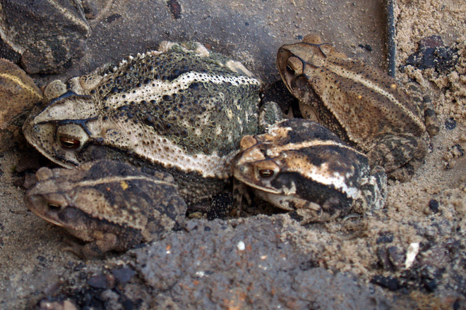 Toad Camoflauge 1