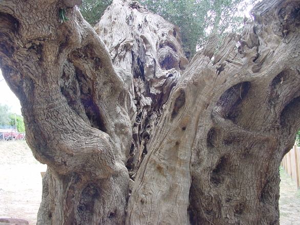 Old olive-tree