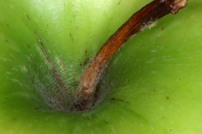 Heart of Apple