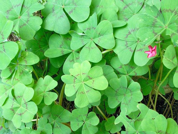 4-leaf clover many
