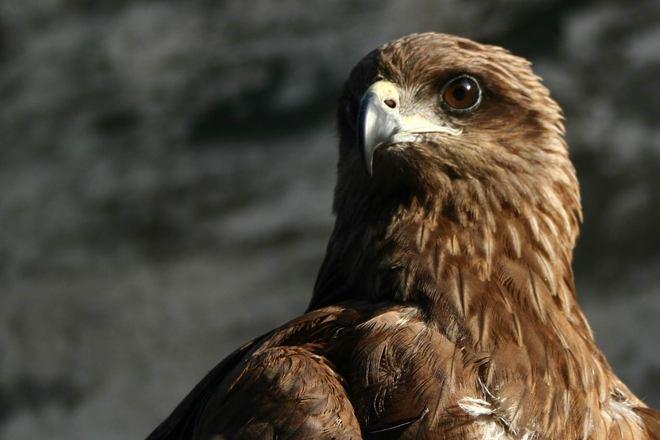 Free Indian Eagle Stock Photo - FreeImages.com