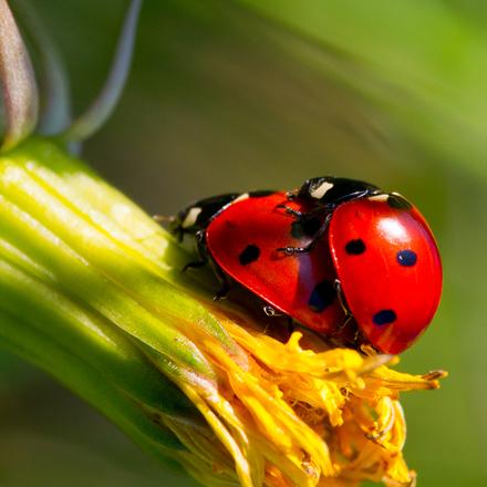 ladybug-love-1244567.jpg