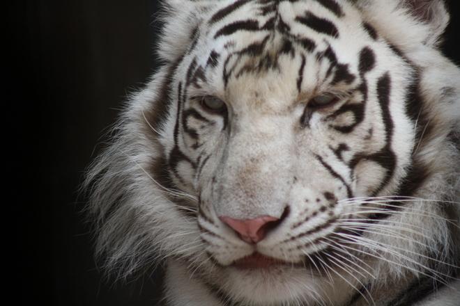 Beautiful Siberian Tiger, taken at the Henrly Doorly Zoo in Omaha