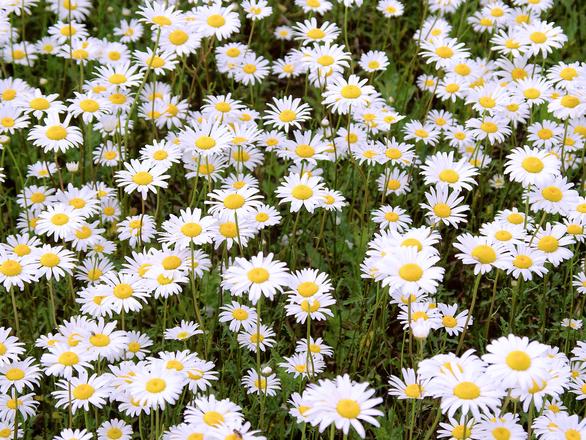 daisy field 1163378