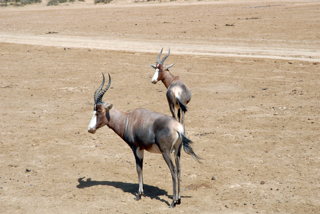 Antelope, south africa 1