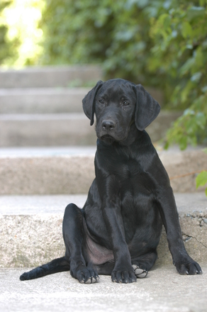 Musta koira
