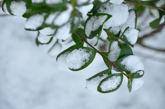 Snowy leaves 3