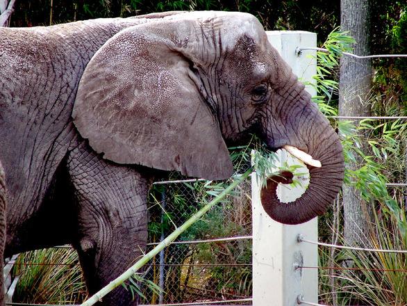 Jacksonville Zoo Elephants