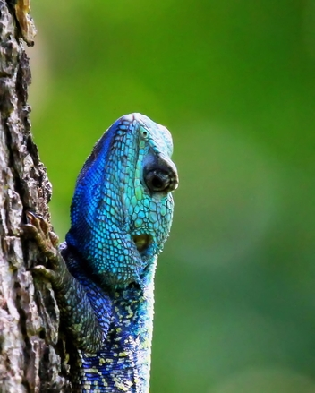 blue-head lizard 4