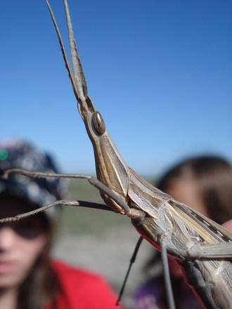 Insect - Locust