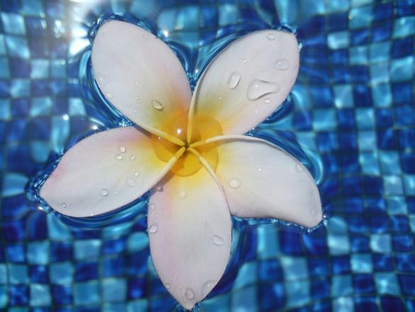 Frangipani in Water 4