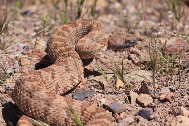Rattlesnake in Death Valley