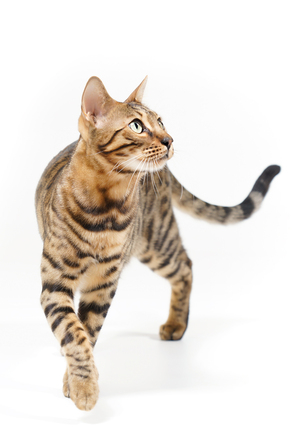 ผลการค้นหารูปภาพสำหรับ cat walking towards you