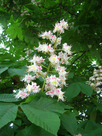 chestnut tree flower