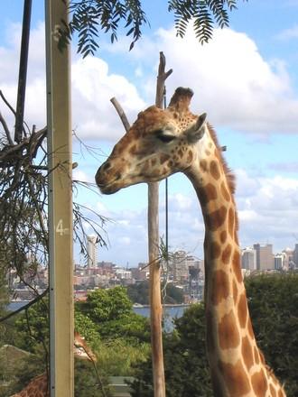 giraffe at the sydney zoo