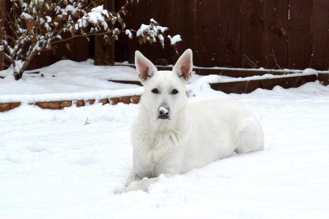White Shepherd Snow Dog 2