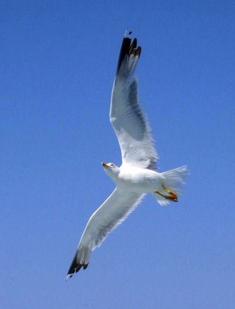 Seagull, файл фотографии, #1406660, seagull. segull в полете. seagull, eye,