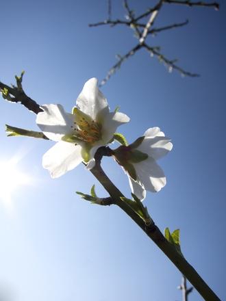 almond- tree's flower 1