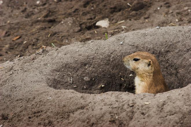 Prairie Dog Photos Free