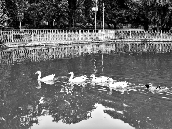Free ducks in small artificial pond stock photo for Artificial pond