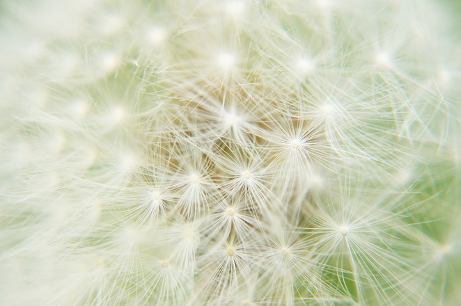 Dandelion 8